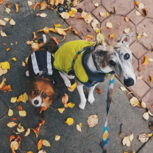Two dogs in rain jackets surrounded by leaves
